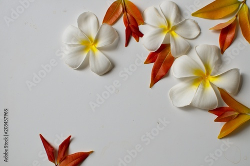 Fotobehang Plumeria white plumeria flowers and red leaves frame close-up on a white background with copy space