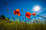 Rote Mohnblumen vor blauem Hintergrund