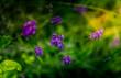 fleur de lavande