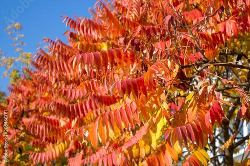 rowan leaves are red - 208466781