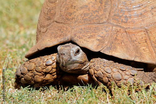 Fotobehang Schildpad Close-up of a leopard tortoise (Stigmochelys pardalis) peeking from its shell, South Africa.