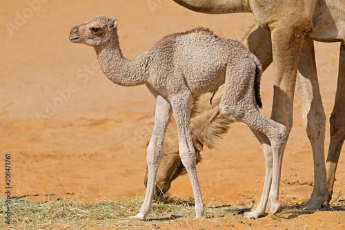 Fotobehang Kameel A newborn camel calf with its mother, Arabian Peninsula.