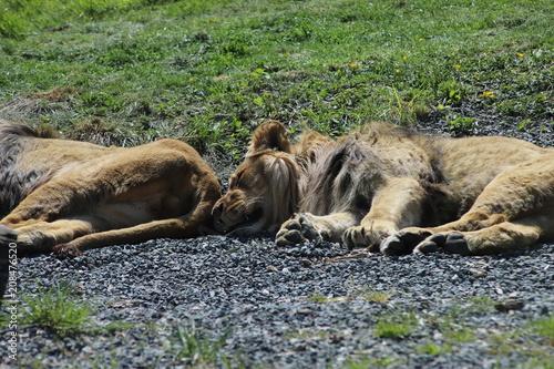Fotobehang Lion lion