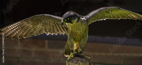 Fotobehang Bruggen Pergrine Falcon - Falco peregrinus