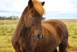 Purebred Icelandic horse grazing in the field