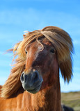 Portrait of brown color thoroughbred Icelandic horse