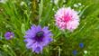 Leinwanddruck Bild - fiordalisi colorati prato di fiori selvatici di stagione sfondo floreale