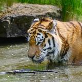 Portrait of Siberian Amur tiger Panthera Tigris Tigris in Summer - 208486184