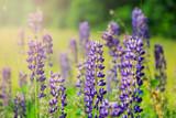 Lupine flowers on green meadow - 208486554
