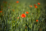 Poppies in the wheat field, sunshine