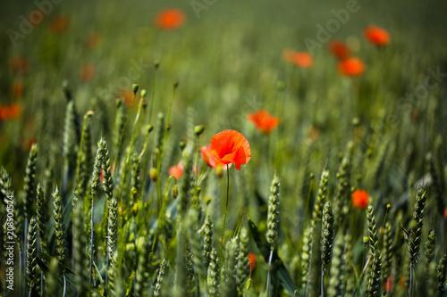 Aluminium Klaprozen Poppies in the wheat field, sunshine