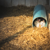 Rabbits in a tube