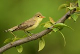 Icterine Warbler - Hippolais icterina sitting on the branch and singing his spring song with the green background - 208509521