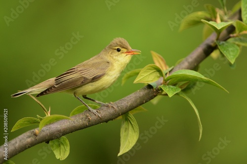 Icterine Warbler - Hippolais icterina sitting on the branch and singing his spring song with the green background