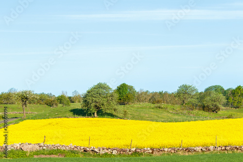 Fotobehang Geel Country landscape view with flowering rapeseed