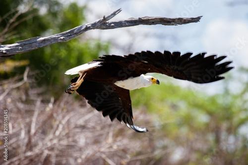 Plexiglas Eagle African fish eagle taking off