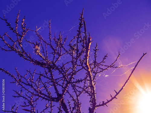 Dry tree with thorns and a spider web at sunset in Texas.  