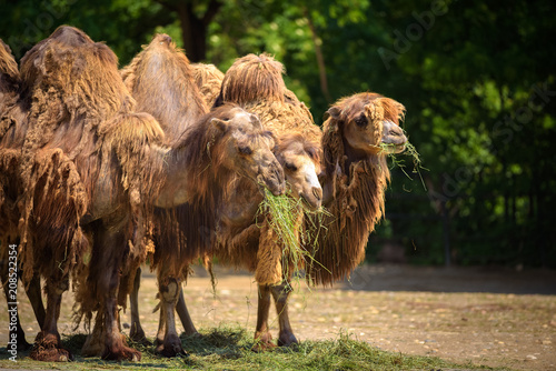 Fotobehang Kameel Three Bactrian camels feeding