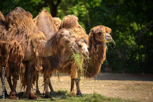 Fototapeta Three Bactrian camels feeding