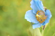 Himalayan blue poppy