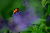 Lady bug on a lavender flower - 208529341