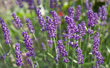 Blossoms of lavender