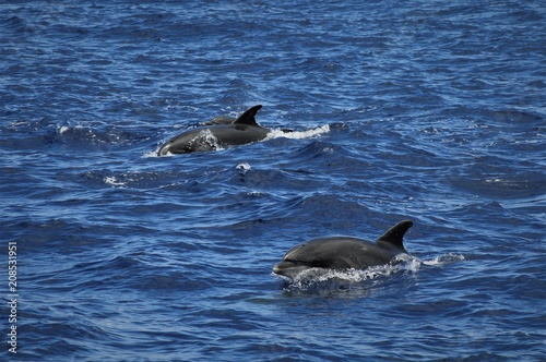 Aluminium Dolfijn dolphins playing free