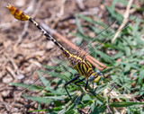 Dragonfly perched on grass - 208537130