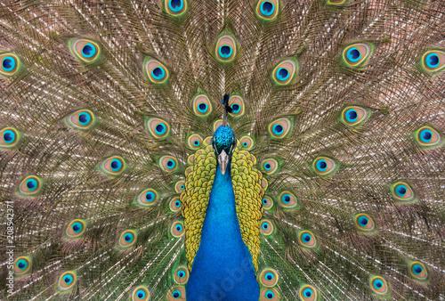 Aluminium Pauw Portrait of peacock
