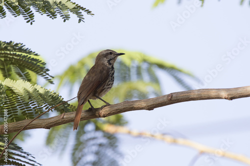 Fotobehang Zanzibar Spotted morning-thrush that sits on an acacia tree in the shade of a leaf on a hot African day