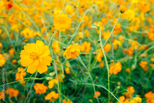 Yellow common cosmos flower on green field