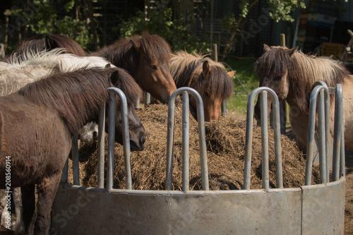 Fotobehang Paarden Fütterung Islandpferde