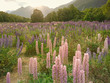 Purple lupine meadow with mountain background, New Zealand natural landscape background