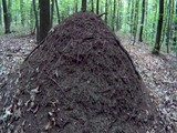 big ant hill in the woods among the trees - 208563792