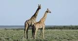 Two giraffe bulls (Giraffa camelopardalis) on the plains of Etosha National Park, Namibia - 208565124