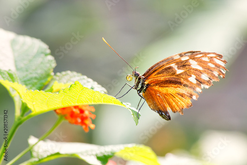Fotobehang Vlinder Tiger longwing - Heliconius hecale, beautiful orange butterfly from Central and South America forests.