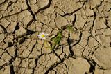 Spękana ziemia podczas suszy i samotny biały kwiatek - 208582999