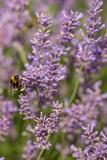 honeybee flying over lavender flower, honeybee pollinating lavender flower - 208584179