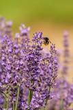 honeybee flying over lavender flower, honeybee pollinating lavender flower - 208584192