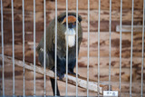 A sad monkey in a cage at the zoo