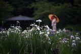 雨の日の菖蒲園