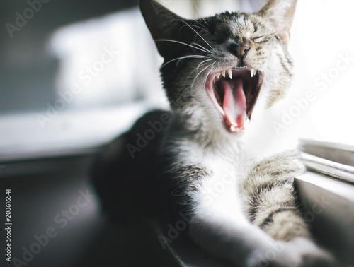 Fotobehang Kat Yawning cat