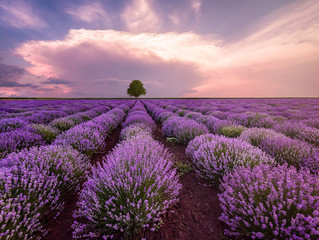 Landscape of lavender field and lonely tree