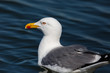 side view portrait natural yellow-legged gull (larus michahellis) in blue water