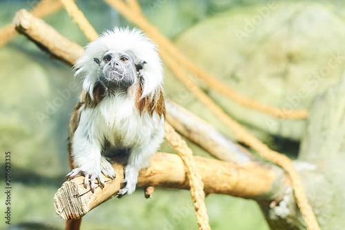 Fotobehang Aap Live nature. A monkey