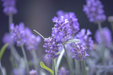 Lavendel, Bokeh - Lavender