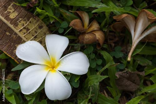 Fotobehang Plumeria Bloom plumeria flowers in the morning