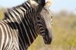 A zebra's head