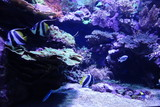 Falterfische