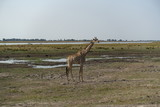 giraffe - 208640565
